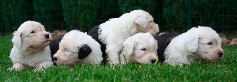 Little Bobtail pups in the garden