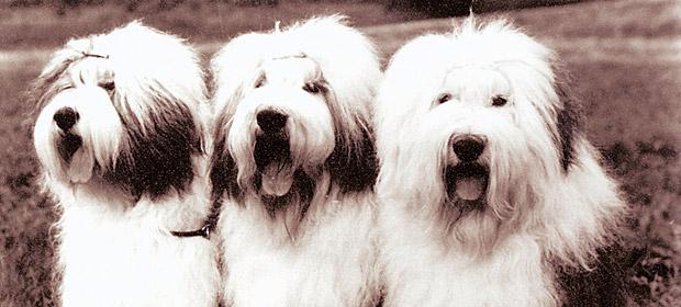 1981: Int-VDH-D-Ch. Hullabaloo, Int-NL-D-Lux-VDH-Ch. Hercules and Int-NL-D-F-Lux-VDH-Ch. World-Europa und Bundessieger Hot Dog